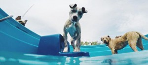 A dog looking into the pool