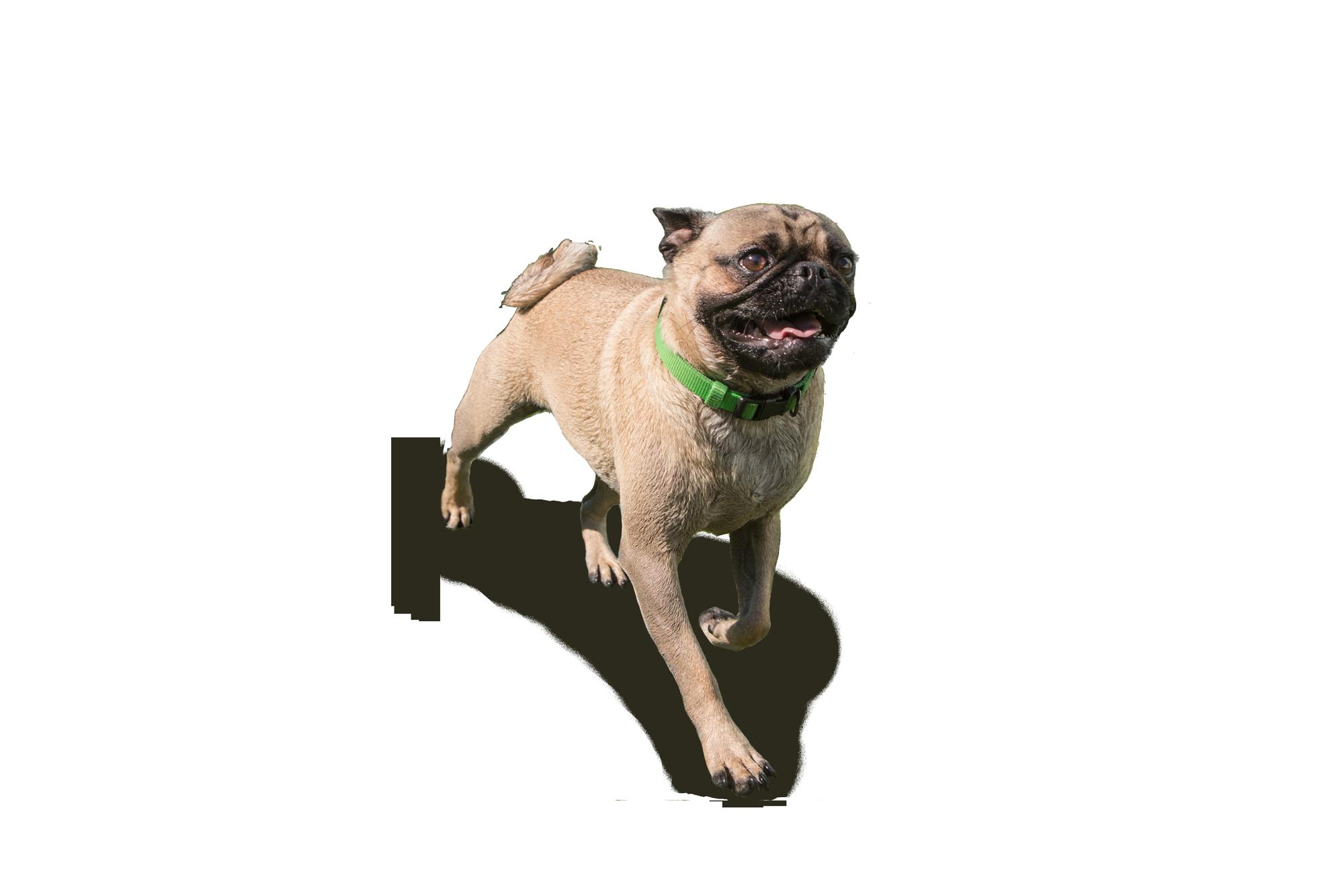 Happy pug dog cutout trotting